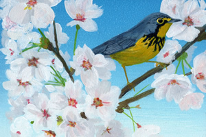 Canada Warbler and Cherry Blossoms