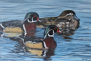 Honing In - Wood Ducks
