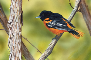 On the Vine - Baltimore Oriole