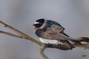 Waiting for the Sun (Cliff Swallow)